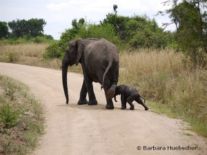 Elefant, Elefantenbaby, Queen Elizabeth Nationalpark, Uganda, Big 5